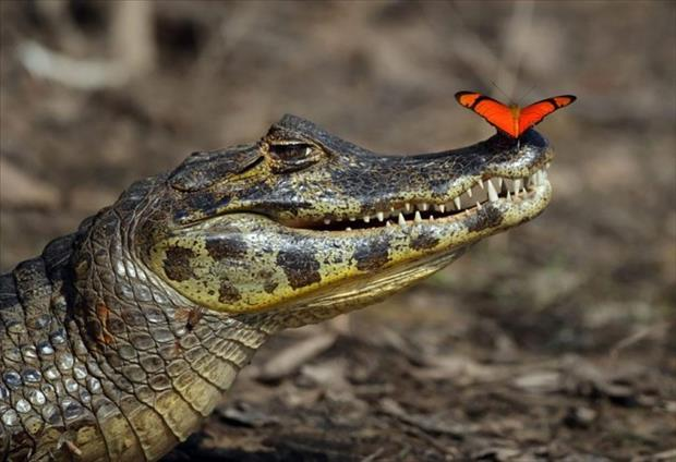 butterfly-on-alligator-685x469