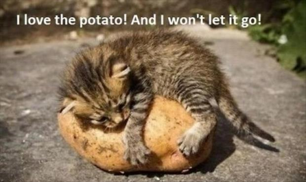 cute kitten loves his potato