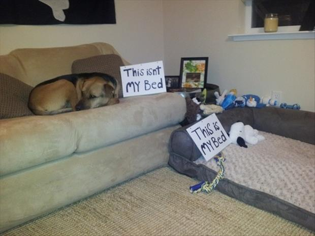 dog on the couch shaming
