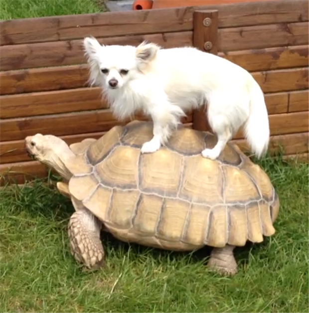 dog-riding-turtle