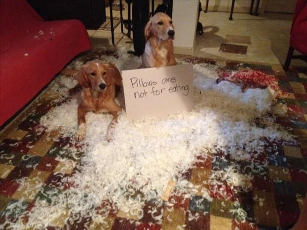 dog shaming pillows are not for eating