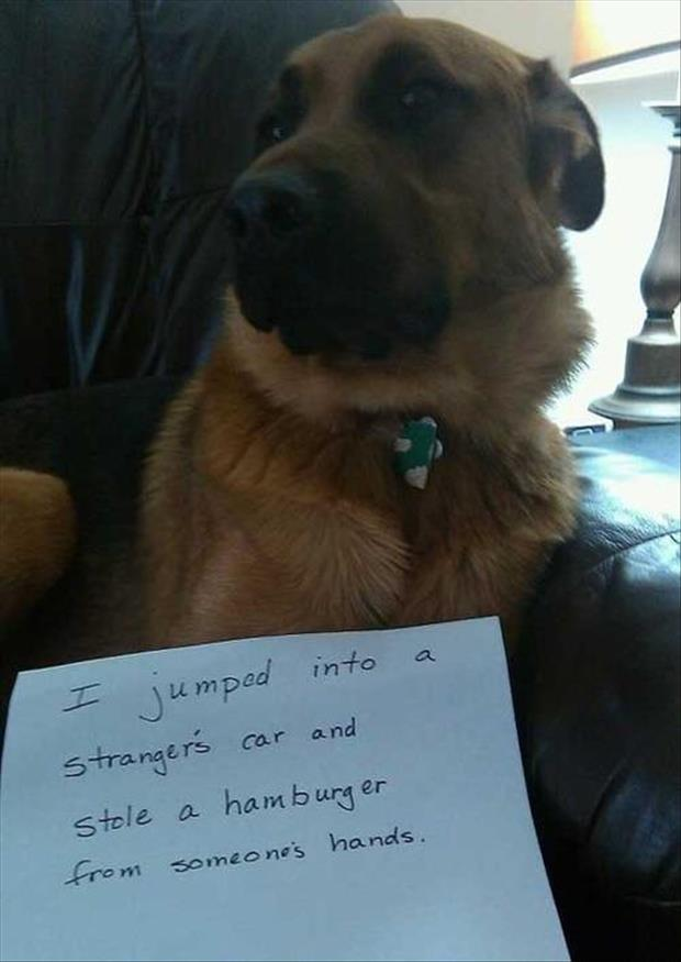 dog shaming stole a hamburger