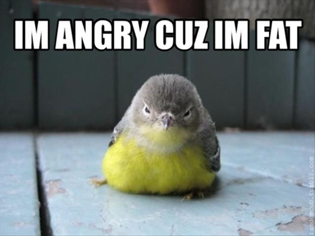 fat angry birds