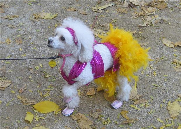 funny dogs dressed up (20)