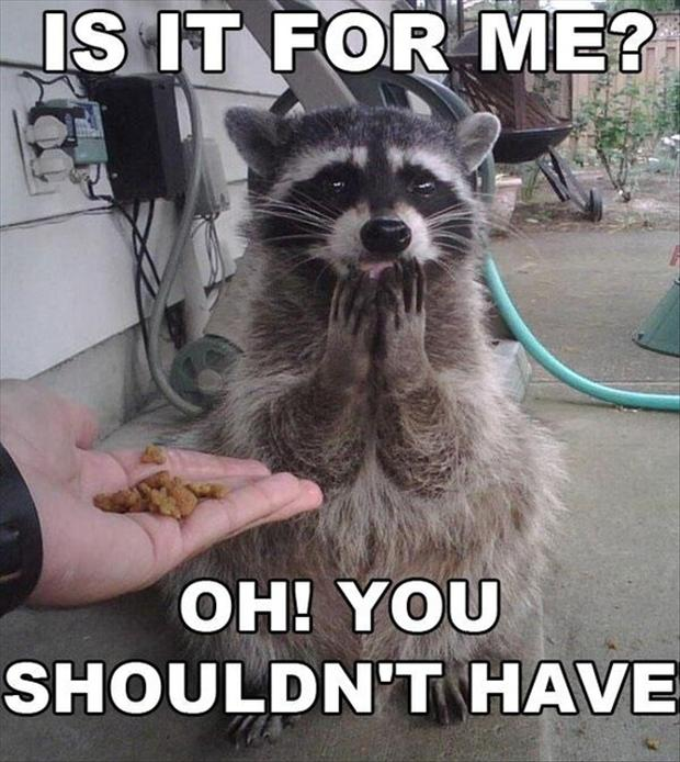 funny racoon pictures