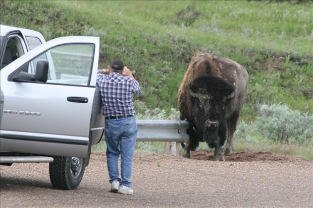 man taking a picture of a buffalo