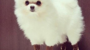 Top 20 Places Pomeranians Don't Belong