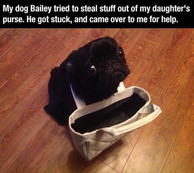 pug dog gets stuck in purse funny images