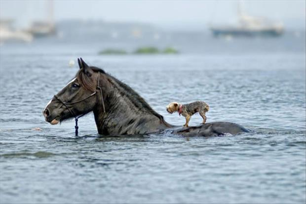 terrier-rides-horse-in-water