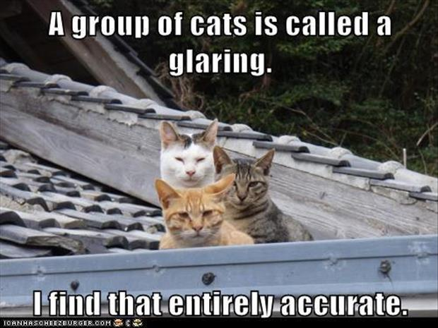 what is a group of cats called
