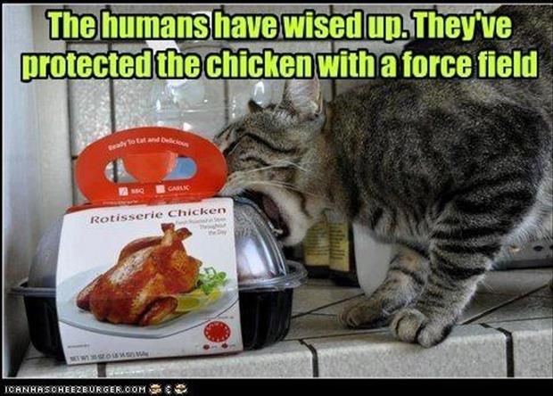 a cat eating chicken