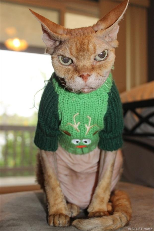 angry cat wearing a sweater