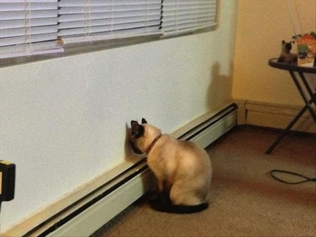 cat staring at wall