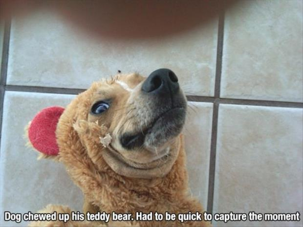 dog with teddy bear on his face