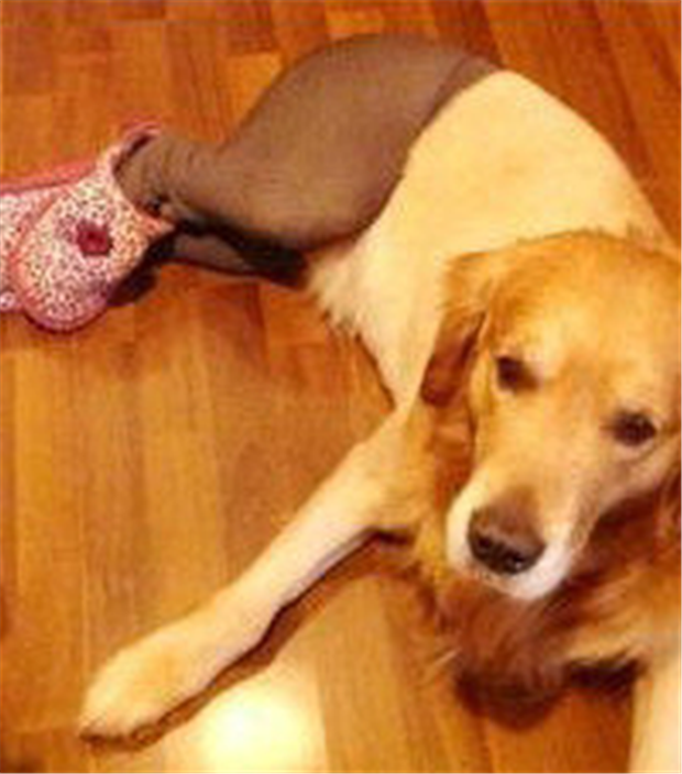 dogs wearing pantyhose funny animal pictures (2)