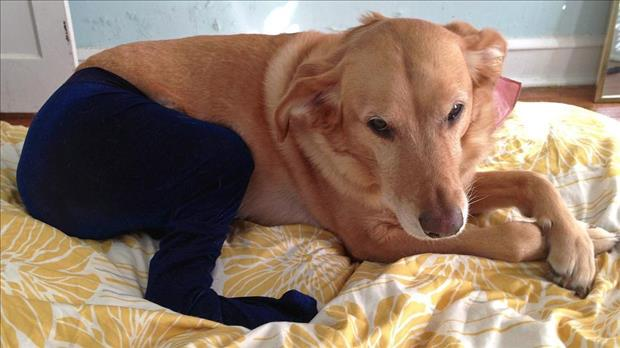 dogs wearing pantyhose funny animal pictures (7)