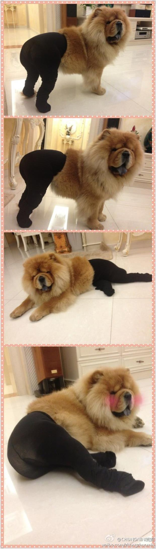 dogs wearing pantyhose meme (2)