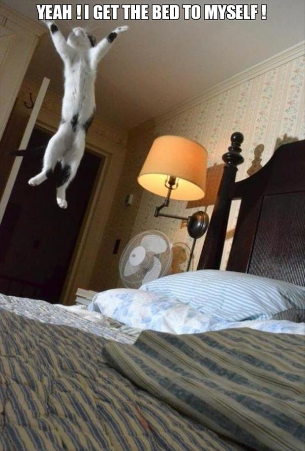 funny cat jumping on the bed