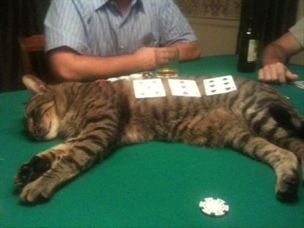 playing poker on the cat