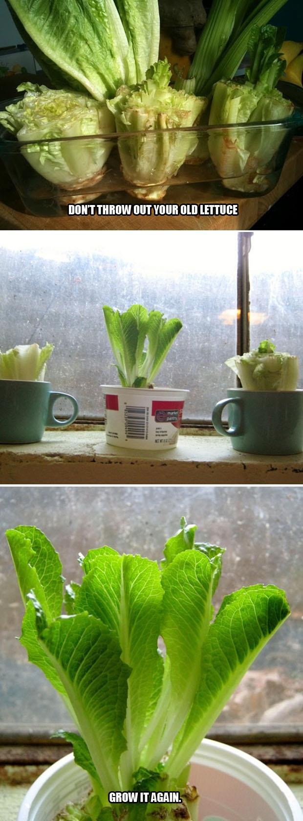 regrow lettuce how to