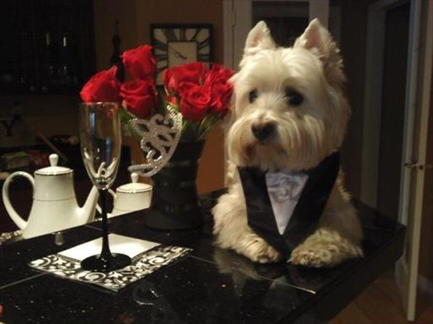 dog dressed up in a tux