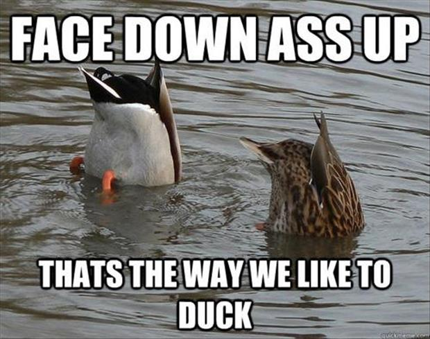 face down ass up funny ducks
