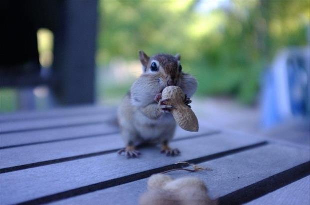 funny chipmonk pictures, dumpaday (13)