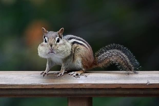 funny chipmonk pictures, dumpaday (5)