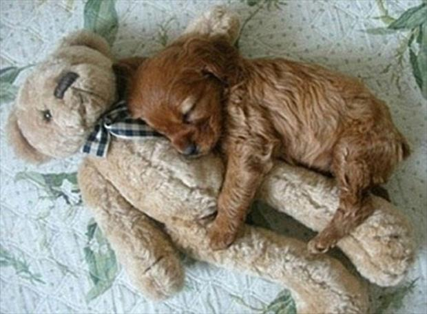 puppy sleeping with a teddy bear
