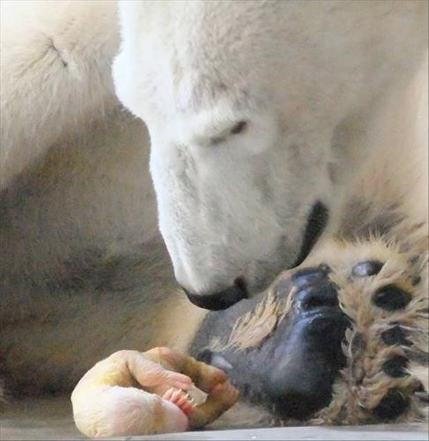 New-born polar bear, animal pictures