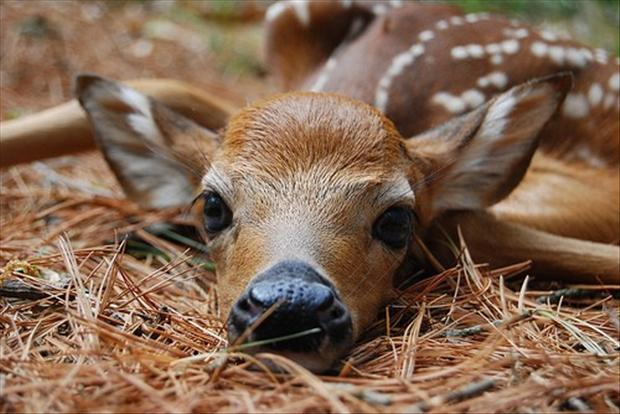 baby deer is tired