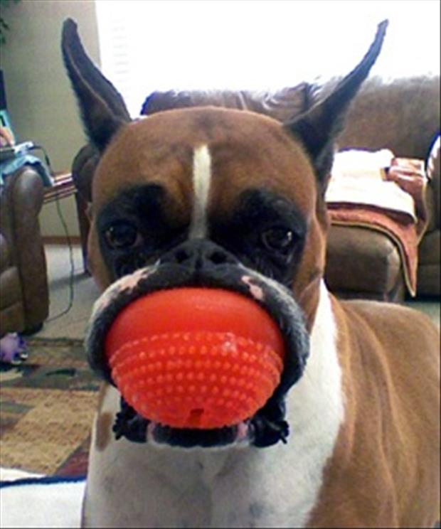 dog has ball in his mouth