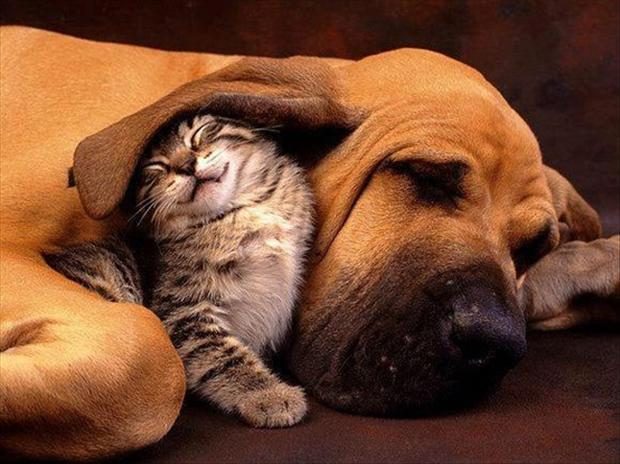 kitten under dogs ear