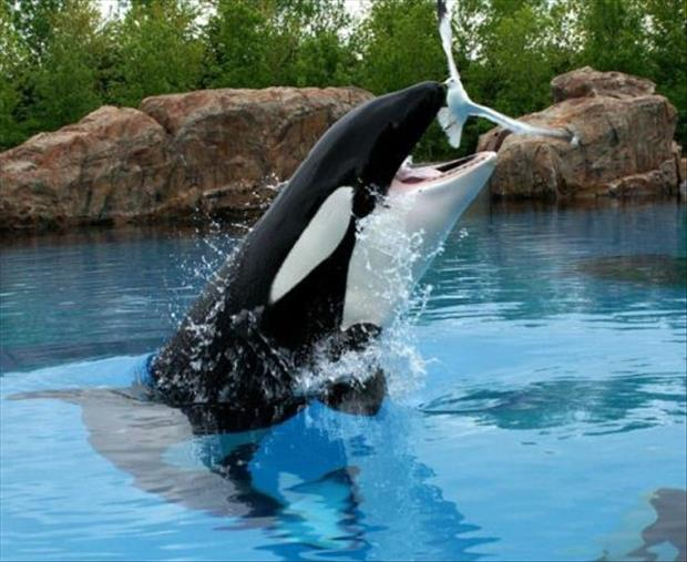 oh shit moments killer whale
