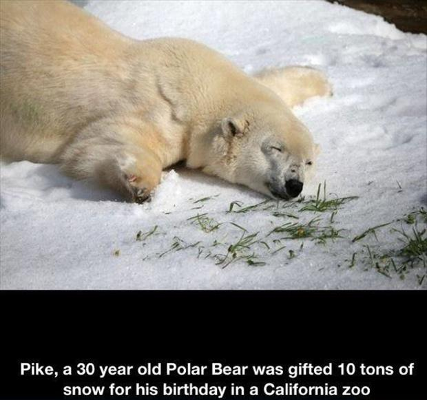 polar bear in a zoo snow