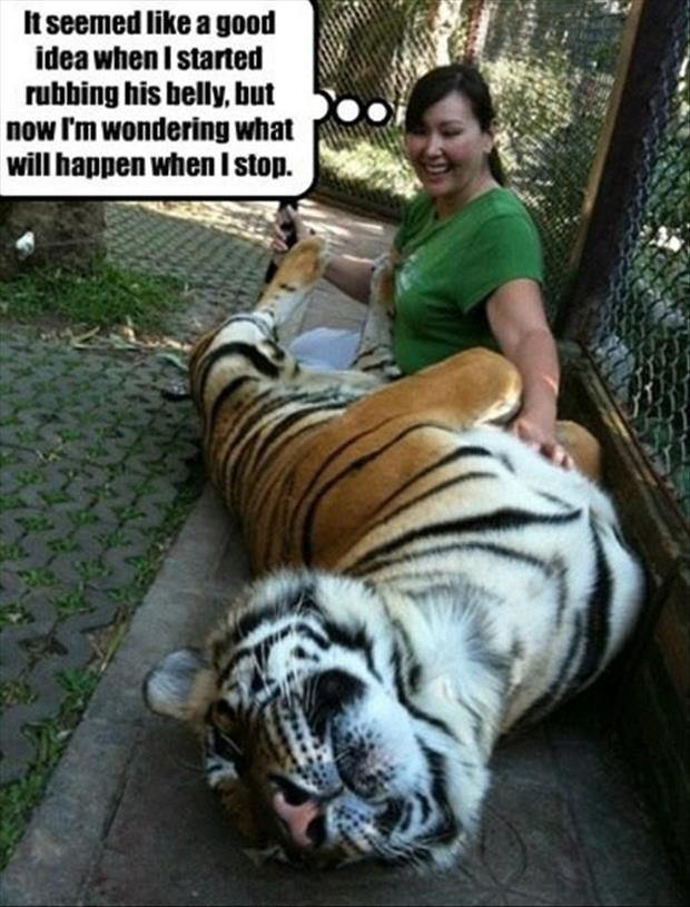 rubbing a tiger's belly
