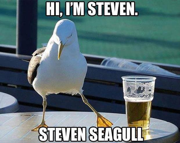 steven seagull funny pictures