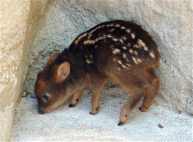 worlds smallest deer, animal pictures
