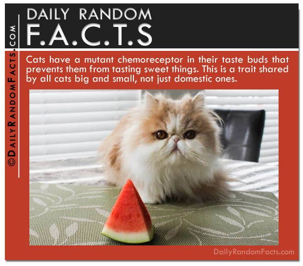 Daily Random Facts- Cat's can't taste sweet