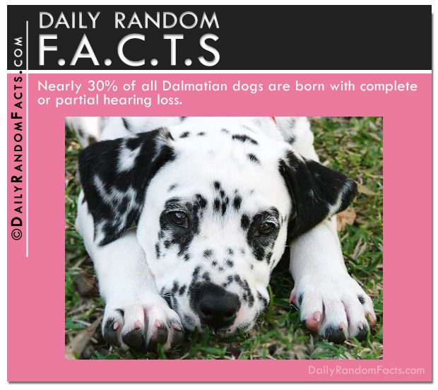 Daily Random Facts-Dalmatians