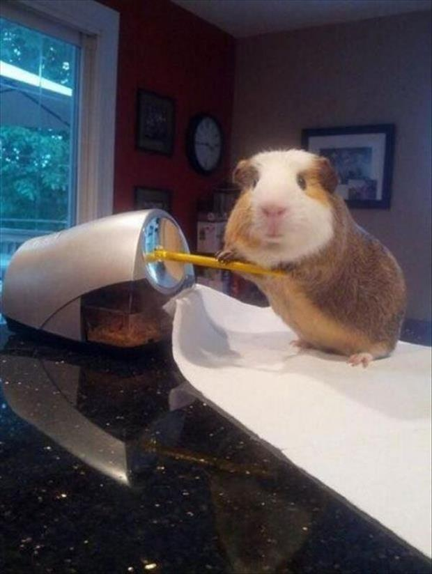 Guinea pig sharpening pencil