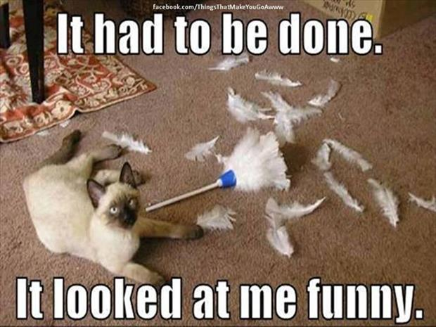 cat vs feather duster