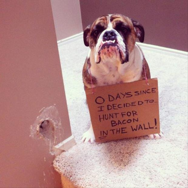 dog shaming bacon