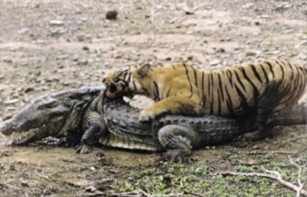 oh shit moments tiger and alligator