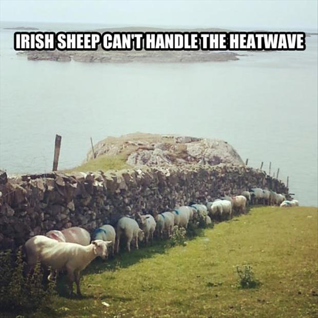 sheep can't handle the heat