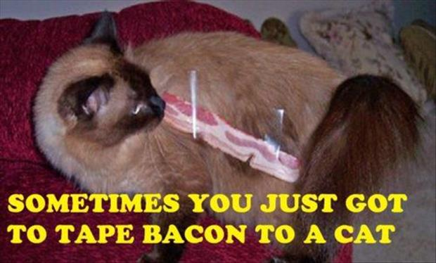 funny bacon on cat