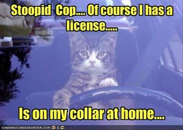 funny driving cat