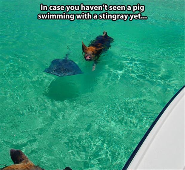 pig and stingray