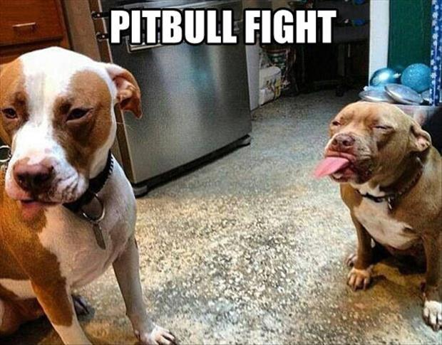 pittbul fight