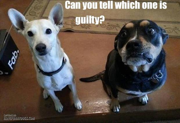 funny dogs are guilty